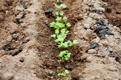 Young green sprout in the soil or ground, spring bed of new crops Stock Photo