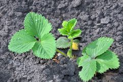 Young green sprout of strawberry Royalty Free Stock Image