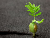 Young green sprout of tamarind tree close up Stock Image