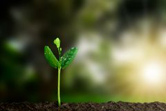 Young green sprout with water drop growing out from soil on blurred green nature with soft sunlight  background Stock Images