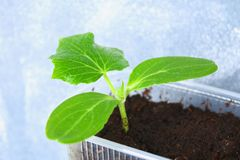 Young green sprouts of cucumber in the ground. Seedlings in the garden. Young green sprouts of cucumber in the ground. Seedlings in the garden Royalty Free Stock Images