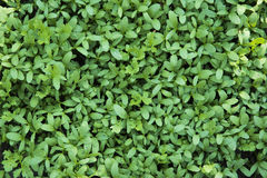 Young green sprouts Royalty Free Stock Image