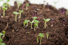 Young green sprouts Stock Images