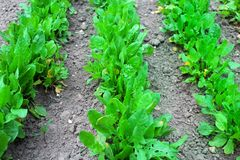 The young green sprouts of sorrel in the vegetable garden. In the spring royalty free stock photo