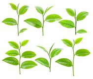 Free Young Green Tea Leaves Isolated On White Background Stock Image - 119547511