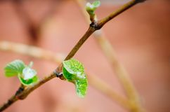 Young green tender shoots and leaves of grapes on the vine in the spring stock images