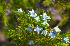 Young green Thuja branches with fruits closeup Royalty Free Stock Photos