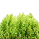 The young and green thuja Royalty Free Stock Photography