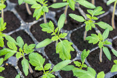 Young green tomato seedling in seedling tray Stock Image