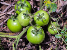 Young green tomatoe. S on branches. Agriculture concept Royalty Free Stock Photography