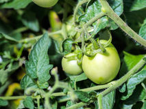 Young green tomatoe. S on branches. Agriculture concept Royalty Free Stock Photos