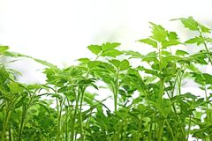 Young green tomatoes plants Royalty Free Stock Images