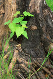 Young green tree on the old stump Stock Photo