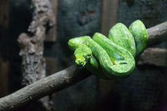 young green tree python snake Royalty Free Stock Photo