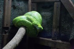 young green tree python snake Stock Photography