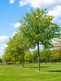 Young green trees. In park Royalty Free Stock Images