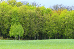 Young green trees on a background of the old spring forest Stock Images