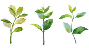 Young green twigs. Watercolor drawing. Young green twigs with leaves. Isolated objects on white background Stock Photo