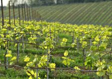 Young green vineyards in Chianti region near Mercatale Val di Pesa. Florence. Italy stock images