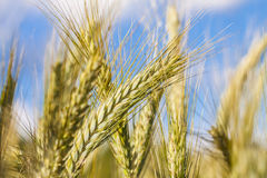 Young green wheat. Royalty Free Stock Image