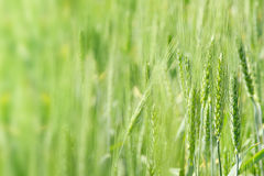 Young green wheat background Stock Images