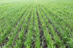 Young green wheat Stock Photo