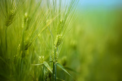 Young Green Wheat Crops Field Growing in Cultivated Plantation. Young Green Wheat Crops Growing in Cultivated Agricultural Cereal Plantation Field, Blue Sky in stock photo