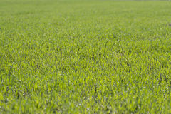 Young green wheat. Young green wheat in the dew Royalty Free Stock Photography
