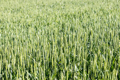 Young green wheat. On the field Stock Photos