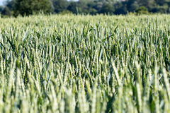 Young green wheat. On the field Royalty Free Stock Photo