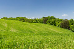 Young green wheat field. Young green wheat hill field on a background of the blue sky, line of trees Stock Photos