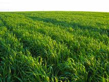 Young green wheat field in the rays of the sunset stock photo