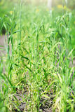 Young green wheat. Stock Image