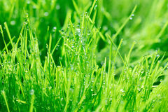 Young green wheat grass sprouts with water drops on the sun Stock Photography