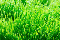 Young green wheat grass sprouts with water drops on the sun Royalty Free Stock Photo