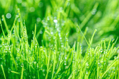 Young green wheat grass sprouts with water drops on the sun Royalty Free Stock Photography