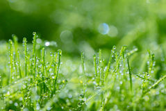 Young green wheat grass sprouts with water drops on the sun Stock Photos