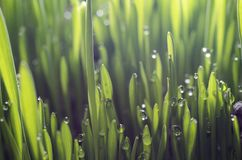 Young green wheat grass sprouts with water drops on the sun stock images