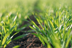 Young green wheat growing in soil Stock Photography