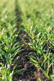 Young green wheat growing in soil Royalty Free Stock Images