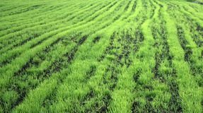 Young green wheat grows in a field. Rows of wheat sprouts, green wheat paros close up royalty free stock images