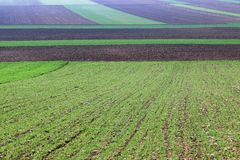 Young green wheat and plowed fields Royalty Free Stock Image