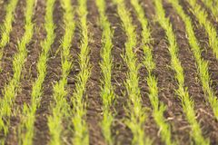 Young green wheat seedlings growing in a soil. Agriculture and agronomy concept. Nature background with selective focus Stock Images