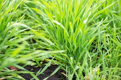 young wheat sprouts growing in the field stock image