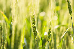 Young green wheat stalks Stock Image