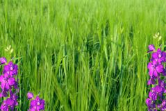Young green wheat and violet flowers Royalty Free Stock Photo