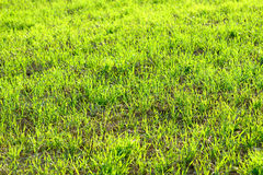 Young green wheat winter crops field background sunny and vibrant. Yellow Royalty Free Stock Photo
