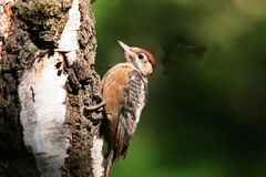 Young Green Woodpecker on tree. Royalty Free Stock Photos