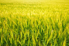 Young green and yellow wheat. Field of young green and yellow wheat Stock Photos