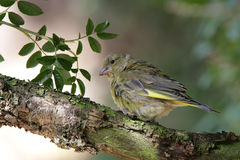 Young Greenfinch. Portrait of a young Greenfinch Royalty Free Stock Image
